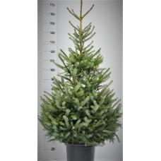 Picea Omorika in pot 150 - 175 cm